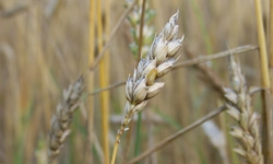 Specific barley tissues infected by scab | Scientist Live