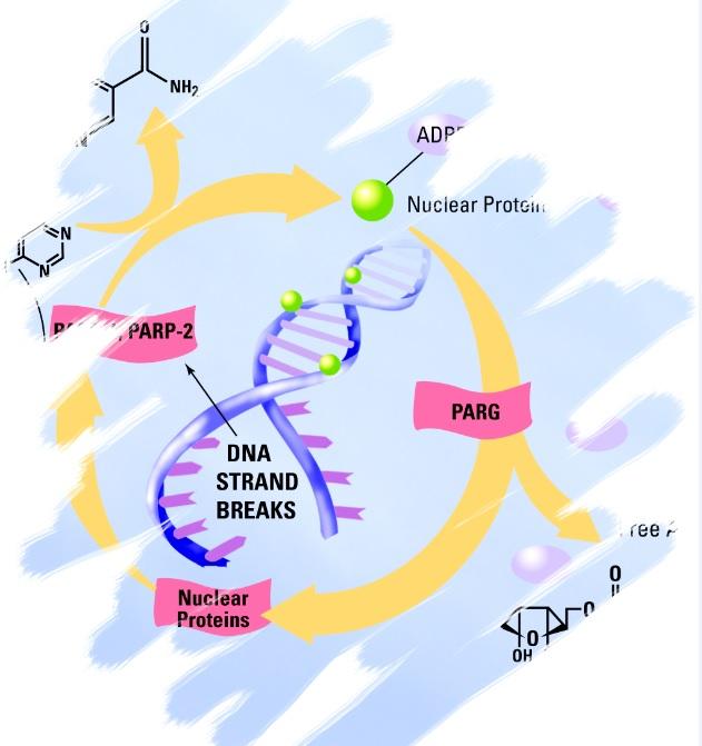 High Throughput PARP In Vivo Pharmacodynamic Assay