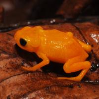 Tiny poisonous Brazilian frogs are 'deaf' to their own call